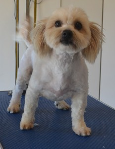 Daddy Latte is a Maltese x Shih Tzu. He had his fur clipped short, nails clipped, ears and eyes cleaned and a wash n blow dry. Pampered by Kylies Cat Grooming Services also all size dogs.