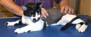 Harvey is a Short hair Domestic. He had his fur shaved down, nails clipped and ears cleaned. Pampered by Kylies Cat Grooming Services also all size dogs.