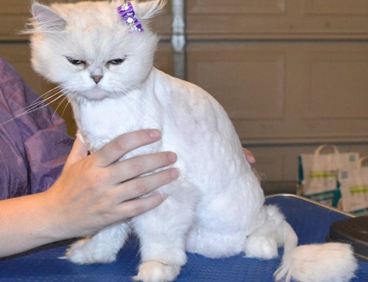 Chanel is a Persian. She had her matted fur shaved off, nails clipped and ears and eyes cleaned. Pampered by Kylies Cat Grooming Services also all size dogs.