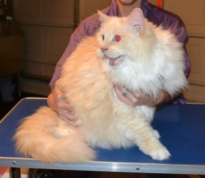 Merlin is a Redpoint ragdoll. He had his matted fur shaved off, nails clipped, ears cleaned and wash n blow dry and a full set of Glitter Gold Softpaw nail caps.Pampered by Kylies Cat Grooming Services.