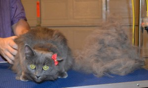 Nala is a Long hair Domestic. She had her fur raked, nails clipped, ears cleaned and a wash n blow dry. Pampered by Kylies Cat Grooming Services.