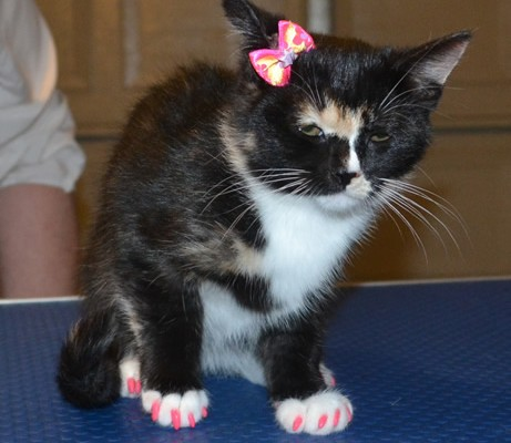 Lilly is a 3 mth old Medium Hair Domestic Kitten. She got a full set of Hot Pink Kitten Softpaw nail Caps.  Pampered by Kylies Cat Grooming Services also all size dogs.
