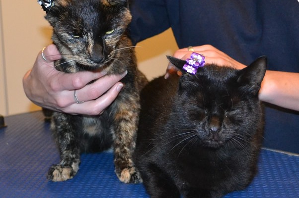 Cookie the Tortoise Shell and Cairo the Burmese, both had their nails clipped, ears cleaned and a wash n blow dry.  Pampered by Kylies Cat Grooming Services.