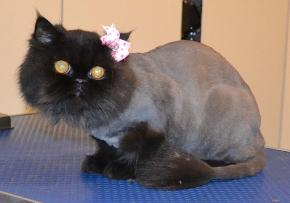 Sundae is a Himalayan. She had her nails clipped, fur shaved down and ears cleaned.  Pampered by  Kylies Cat Grooming Services also all size dogs.