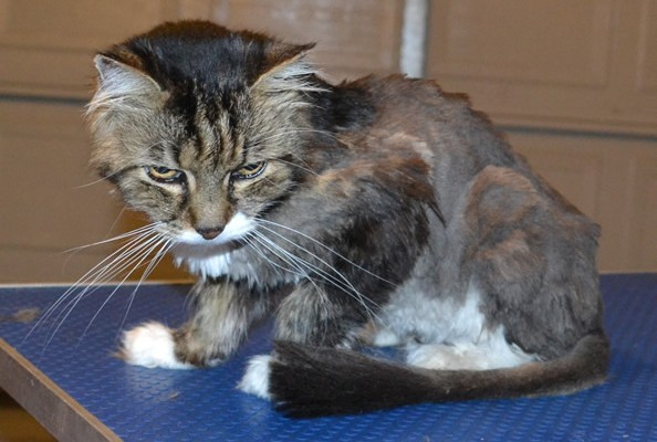 Pepona is a 20 yr old Long/Medium hair Domestic. She had her matted fur clipped short, nails clipped and ears cleaned. She is also now wearing a dinosaur jacket from us. Pampered by Kylies cat Grooming Services.