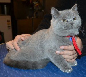 Chubs is a 12 week old British Short-hair. He came in for a full set of Grey Softpaw nail caps. (Kitten Size). Pampered by Kylies Cat Grooming Services.