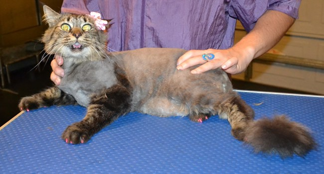 Touli is a Long hair Tabby. She had her matted fur shaved, nails clipped, ears cleaned and a full set of Pink Softpaw nail caps. Pampered by  Kylies Cat Grooming Services also all size dogs.