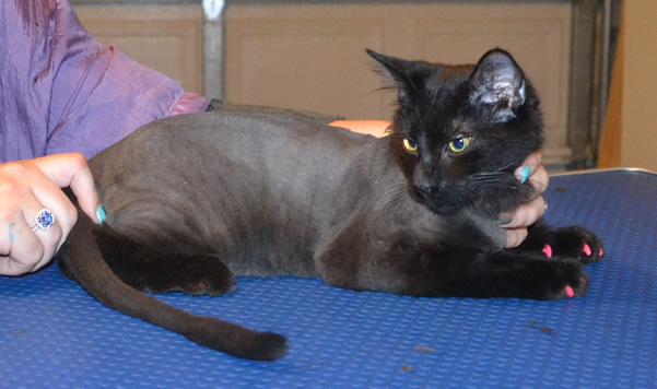 Boo is a Short to medium hair Domestic. he had his nails clipped, ears cleaned and his fur shaved down.  Pampered by  Kylies Cat Grooming Services also all size dogs.