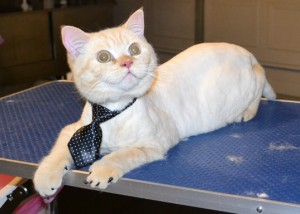 Kim is a 11 mth old British Short Hair. He had his fur shaved down, nails clipped, ears cleaned, a wash n blow dry and a full set of Black Softpaw Nail Caps. Pampered by Kylies Cat Grooming Services also all size dogs.