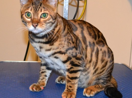 Millie is a Bengal. She had her nails clipped, front Orange Softpaw nail caps and a 1 month Advantage Flea Applicator.  Pampered by Kylies Cat Grooming Services.