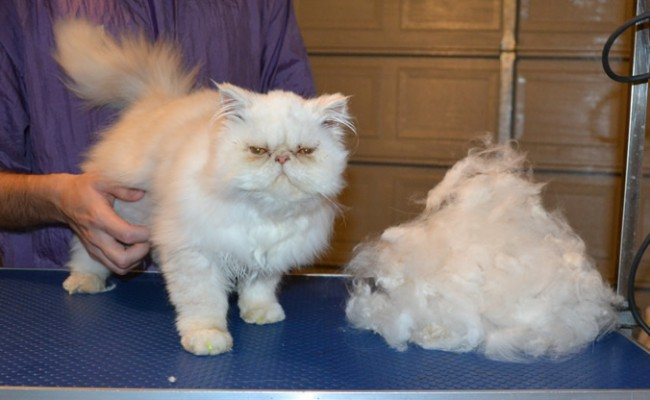 Casper is a 3 mth old Persian. He had his nails clipped, ears and eyes cleaned, his fur raked and a full set of Bright Yellow Softpaw nail caps.  Pampered by Kylies Cat Grooming Services.