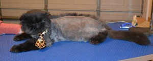 Charles is a Persian. he came in to have his matted fur shaved off, nails clipped, ears and eyes cleaned, a wash n blow dry and a 1 month flea applicator. He is sporting a long Mohawk.. Pampered by Kylies Cat Grooming Services.