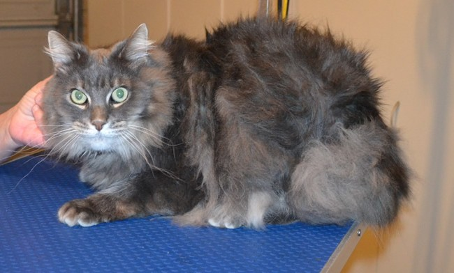 Lulu is a male Long hair Domestic. He had his matted fur shaved off, nails clipped and ears cleaned. Pampered by  Kylies Cat Grooming Services.