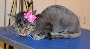 Pepper is a Short Hair Tabby. She had her matted fur shaved down, nails clipped, ears cleaned, a wash n blow dry and a Advantage 1 month flea applicator put on. Pampered by Kylies Cat Grooming Services.
