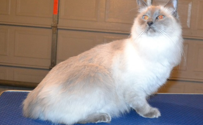 Panda is a Ragdoll. He had his fur shaved off, nails clipped and ears cleaned.   Pampered by  Kylies Cat Grooming Services.