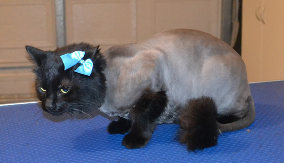 Lychee is a Medium Hair Domestic. She had her fur shaved down, nails clipped and ears cleaned.  Pampered by  Kylies Cat Grooming Services.
