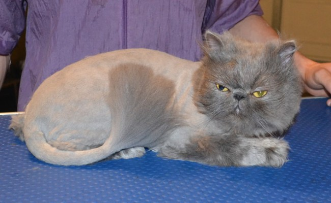 Thomas is a Blue Persian. He had his matted fur shaved off, nails clipped, and eyes and eyes cleaned.  Pampered by  Kylies Cat Grooming Services.