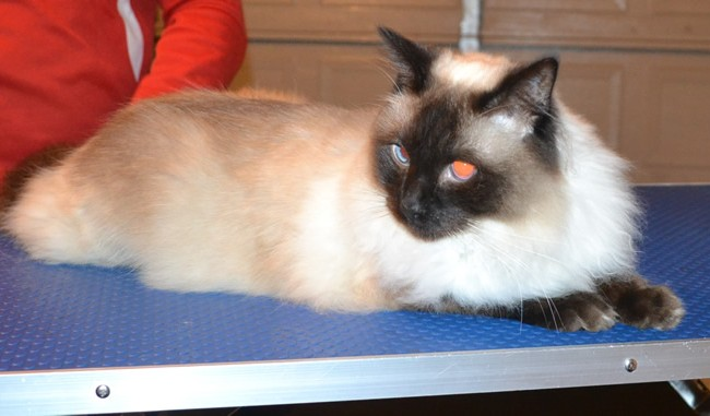 Sparticus is a Ragdoll. He had his fur shaved off, nails clipped and ears cleaned.  Pampered by  Kylies Cat Grooming Services.