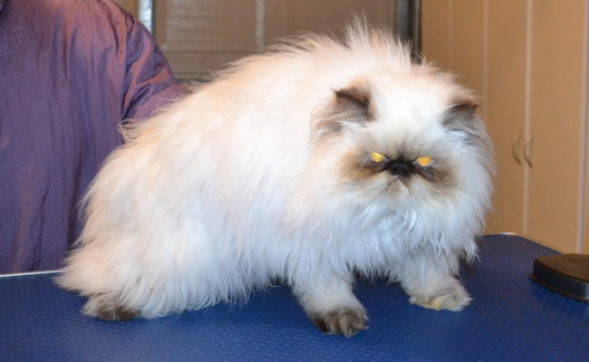 Daisy the (Ewok) Persian. She had her matted fur shaved off, nails clipped, ears and eyes cleaned and Some Pink Softpaw nails put on. — at Kylies Cat Grooming Services.