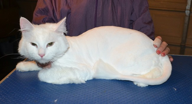 Arkie is a Long hair Dom. he was till his mummy tried to clip him. He had his fur shaved down, nails clipped and ears and eyes cleaned. — at Kylies Cat Grooming Services.