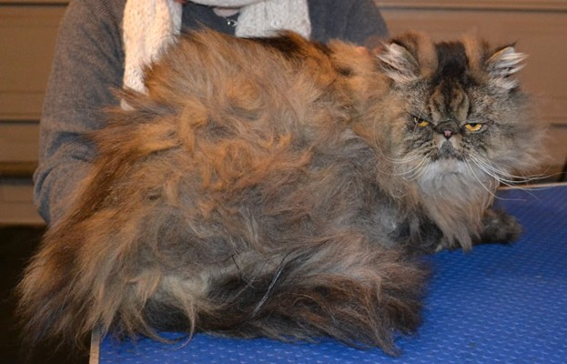 Honey is a Persian. He had his bad matted fur shaved off, nails clipped, ears and eyes cleaned, a wash n blow dry and a full set of Purple Softpaw nail caps put on. — at Kylies Cat Grooming Services.