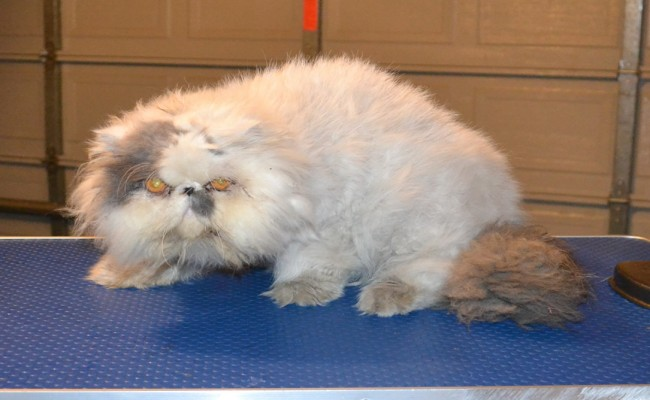 Ollie is a Persian. He had his very bad matted fur shaved off, nails clipped, ears and eyes cleaned and wash n blow dry. — at Kylies Cat Grooming Services