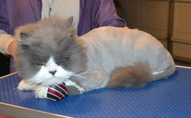 Cosmo is a Persian. He had his matted fur shaved of, nails clipped, ears and eyes cleaned and a wash n blow dry. He also purchased and is wearing one of our cat jumpers.  Pampered by Kylies Cat Grooming Services.