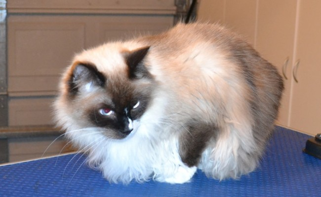 Shadow is a Ragdoll. He had his fur shaved off, nails clipped and his ears cleaned. — at Kylies Cat Grooming Services.