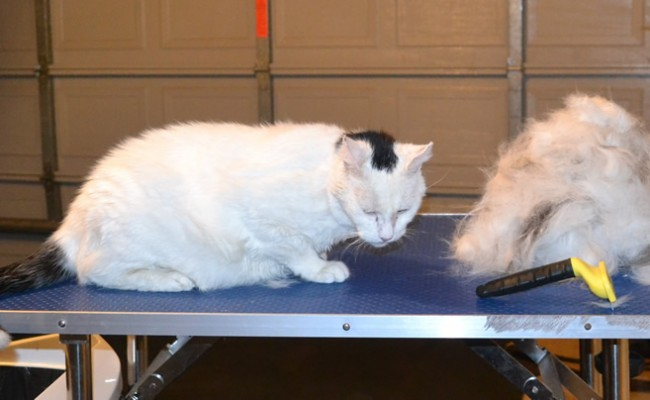 Piggy is a 18 yr old Short hair Domestic. He had his thick fur racked, nails clipped, ears cleaned and a wash n blow dry. — at Kylies Cat Grooming Services.