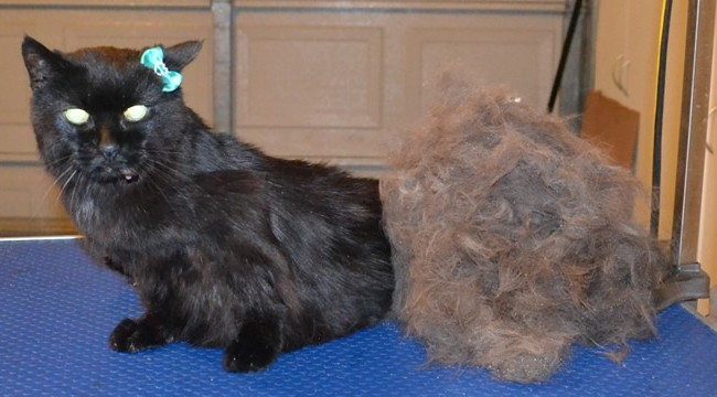 Puss is a 22 year old Short hair domestic that is still going strong. She had her fur raked, nails clipped, ears cleaned and a wash n blow dry.  She loved having a bath and getting blow dried. — at Kylies Cat Grooming Services.