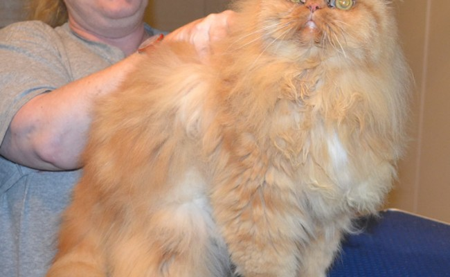 Mac is a Persian. He had his matted fur shaved off, nails clipped, ears and eyes cleaned and a wash n blow dry.   Pampered by Kylies Cat Grooming Services.