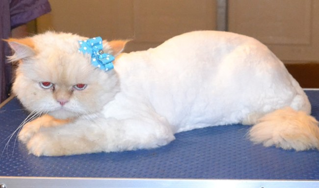 Mouchy is a Persian. He had his matted fur shaved off, nails clipped, ears and eyes cleaned and a wash n blow dry. — at Kylies Cat Grooming Services.