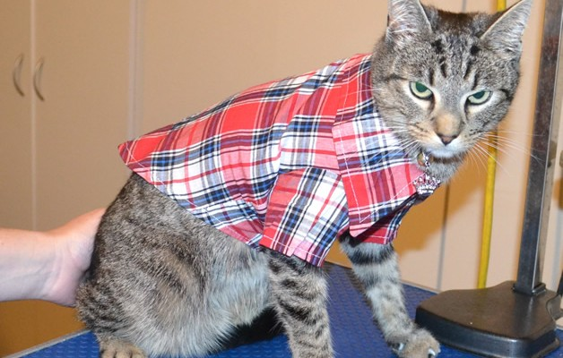 Amos is a Short Hair Tabby. He had his nails clipped, ears cleaned, a full set of Steel Grey Softpaw nail caps and he bought a little jacket from us.  Pampered by Kylies Cat Grooming Services.