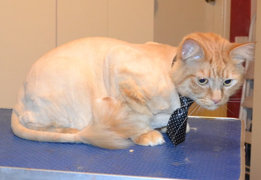 Ginger is a medium hair Domestic. He had his fur shaved down, nails clipped and ears cleaned.  Pampered by Kylies Cat Grooming Services.