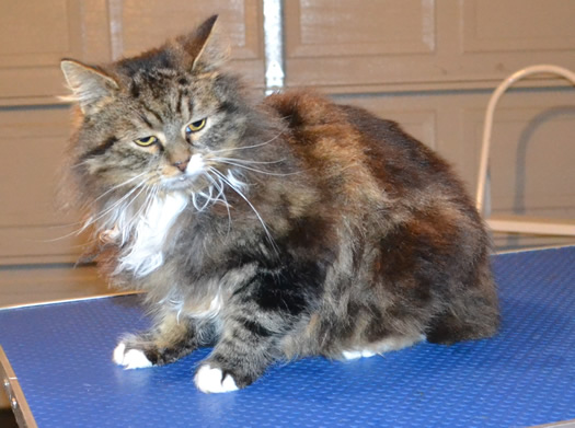 Berryflower is a Long Hair Tabby. She had her matted fur shaved off, nails clipped and her ears cleaned. — at Kylies Cat Grooming Services.
