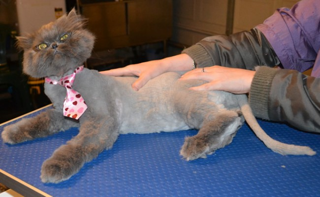 Asher is a Persian. He had his matted fur shaved off, nails clipped and ears and eyes cleaned. — at Kylies Cat Grooming Services.