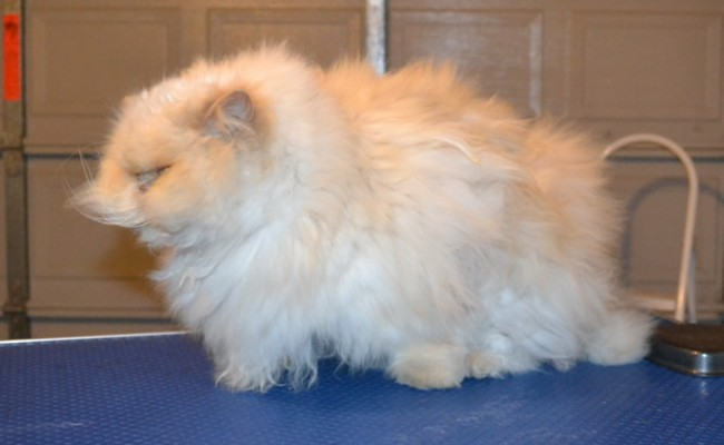 Binx is a Himalayan. he had his matted fur shaved off, nails clipped, ears and eye s cleaned and a wash n blow dry. — at Kylies Cat Grooming Services.