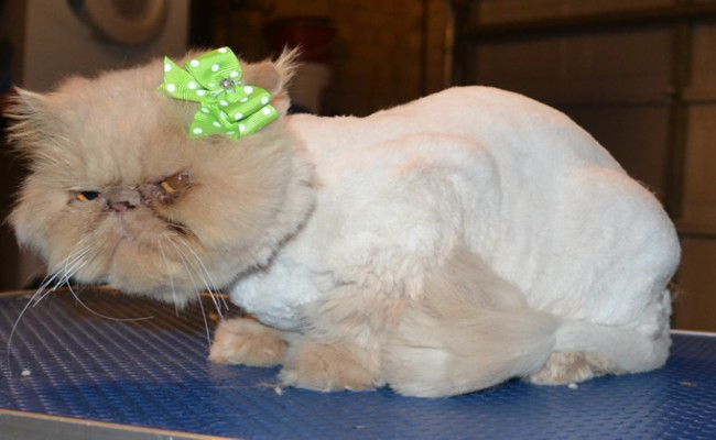 Cleo is a Persian. She had her matted fur shaved off, nails clipped, ears and eyes cleaned and a wash n blow dry. — at Kylies Cat Grooming Services.