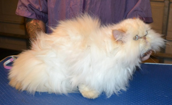 Disco is a Himalayan. She had her matted fur shaved off, nails clipped and ears and eyes cleaned. — at Kylies Cat Grooming Services.