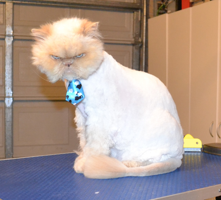 Shaved himalayan cat