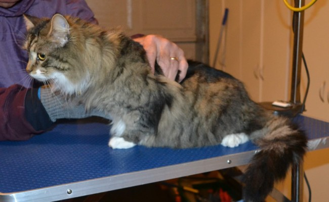Lady is a Long hair Tabby. She had her matted fur shaved off, nails clipped and ears cleaned. — at Kylies Cat Grooming Services.