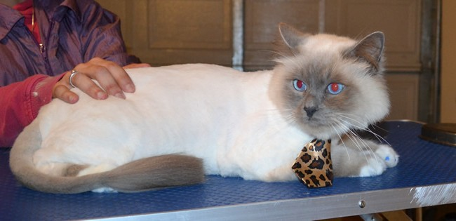 George is a Ragdoll. He had his fur shaved down, nails clipped, ears cleaned and a full set of Blue Softpaw nail caps. — at Kylies Cat Grooming Services.