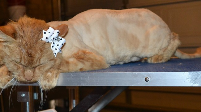 Savannah is a Medium Hair Domestic. She had her nails clipped, ears cleaned, her fur shaved down and a wash n blow dry. — at Kylies Cat Grooming Services.