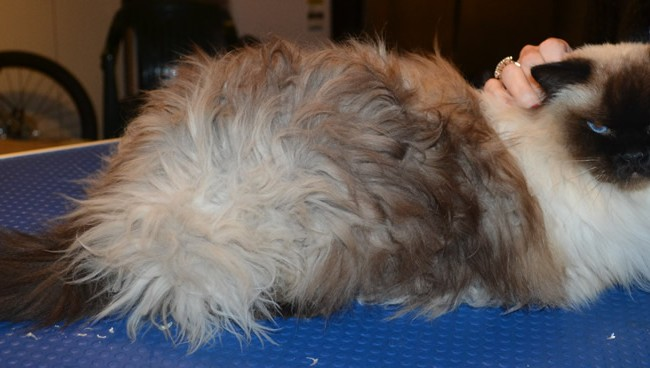 Tabitha is a Ragdoll. She had her matted fur shaved, nails clipped and ears cleaned. — at Kylies Cat Grooming Services.