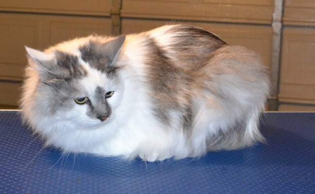 Murphy is a Ragdoll X. He had his fur shaved down, nails clipped, a wash n blow dry and a full set of Blue Softpaw nail caps. This cat has now taken the top in the ladder of the most scariest, vicious, deadliest cat ever! — at Kylies Cat Grooming Services.