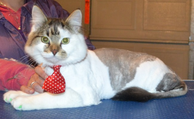 Melvin is a 8 month old Medium Hair Tabby. He had his fur shaved down, nails clipped, ears cleaned and a full set of Green Softpaw nail caps. — at Kylies Cat Grooming Services.