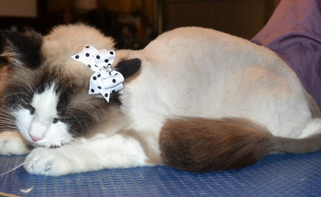 Leila is a Ragdoll. She had her fur shaved off, nails clipped, ears cleaned and a full set of Steel Grey Softpaw nail caps. — at Kylies Cat Grooming Services.