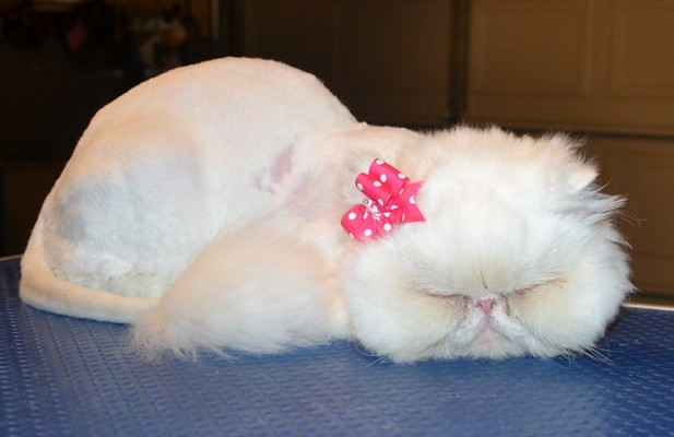 Fiore is a Persian. She had her matted fur shaved off, nails clipped, ears and eyes cleaned and a wash n blow dry. — at Kylies Cat Grooming Services.