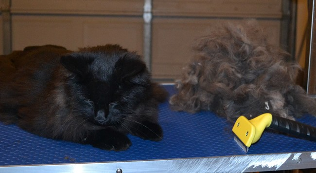 Booker is a Long Hair Domestic. He had his fur raked, nails clipped and ears cleaned. He also decided to take a rest in the bin full of fur. — at Kylies Cat Grooming Services.