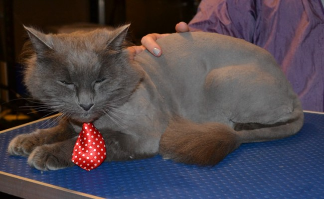 Max the Long Hair Russian Blue. He had his fur shaved off, nails clipped, ears cleaned and a wash n blow dry. — at Kylies Cat Grooming Services.